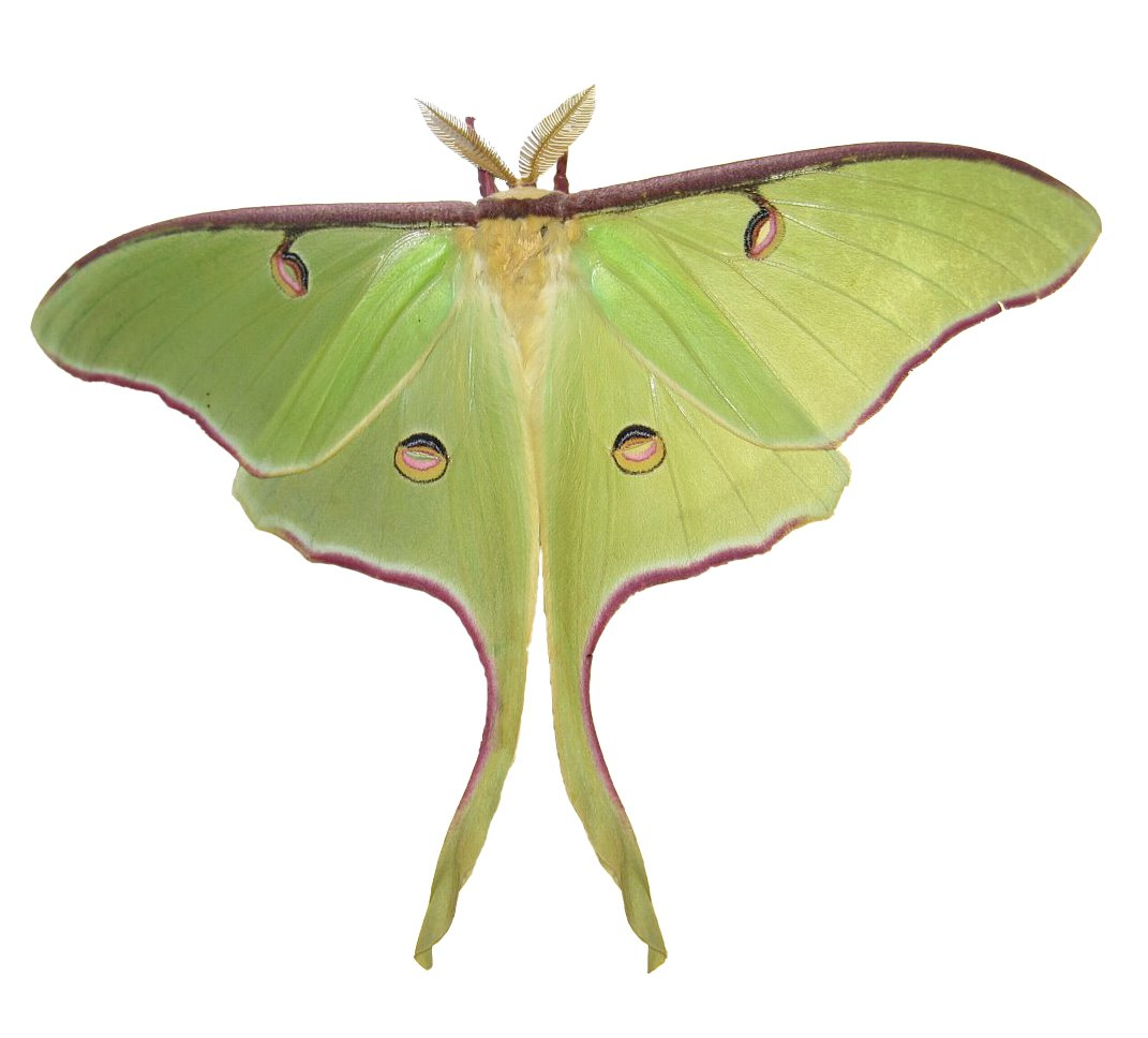 Google Labeled for Reuse Photo via https://commons.m.wikimedia.org/wiki/File:Luna_Moth_by_Joey.jpg under the Creative Commons License