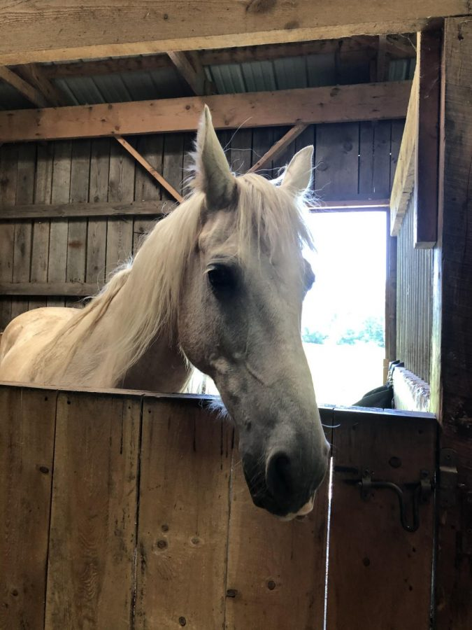 HUNGRY HORSE: Trigger, a 12 year old horse, almost stumbles out of his stable while his mom is getting hay for him to eat.