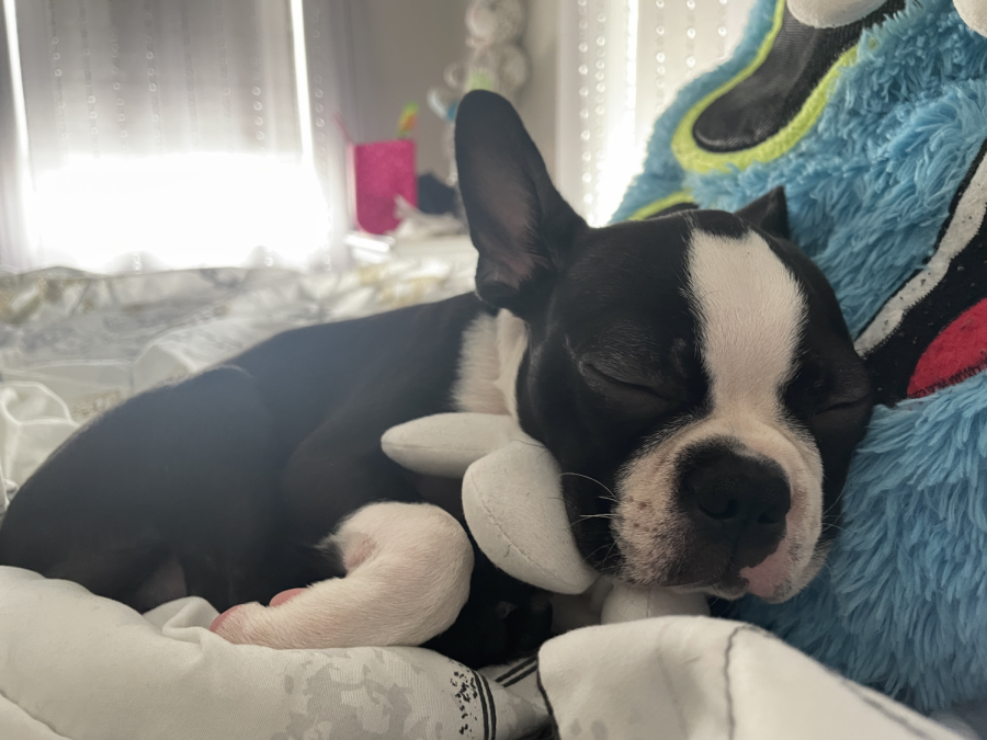 THE SLEEPING ADVENTURES OF A DOG: A sleepy dog named Busta takes a nice dreamy nap, in a room laying on a bed, using a stuffed animal as a pillow.