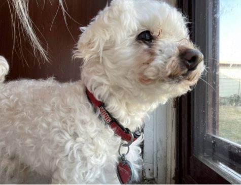 CATCH THAT MAILMAN: Button, a 12-year-old toy poodle watches as the mailman crosses the street to my house on a bright day by the screen door.